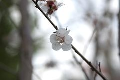 Cherry Blossom on branch Royalty Free Stock Images