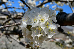 Cherry blossom. From the orchard Royalty Free Stock Photography