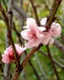 Cherry blossom. Out of season Royalty Free Stock Images