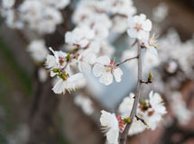 Cherry blossom outdoors Royalty Free Stock Images