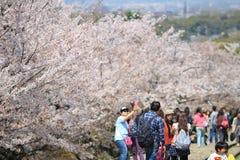 Cherry Blossom på den Keage sluttningen, Kyoto i Japan Royaltyfri Foto
