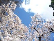 Cherry Blossom på en fin dag Arkivbilder
