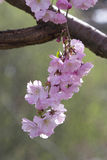 Cherry Blossom på ett träd Royaltyfria Bilder