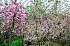Cherry Blossom på trädgården vid fjärden Arkivbild