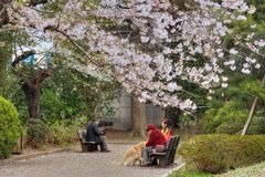 Cherry blossom park. TOKYO, JAPAN-1, APRIL, 2013: People enjoy cherry blossom at tokyo, Japan Royalty Free Stock Image