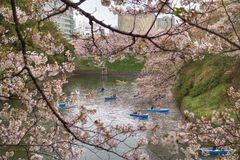 Cherry blossom park Royalty Free Stock Image