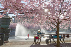 Cherry blossom in the park Kungstradgarden, child playing Royalty Free Stock Photos