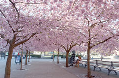Cherry blossom in the park Kungstradgarden, early morning Royalty Free Stock Photo