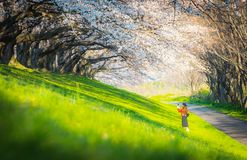 Cherry blossom in park, a romantic walkway with cherry blossom in Japan