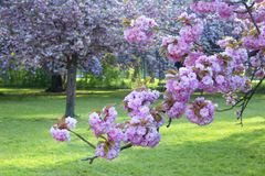 Cherry blossom in the park of Sceaux, Paris, France. Cherry blossom in the park of Sceaux. Paris, France stock photography