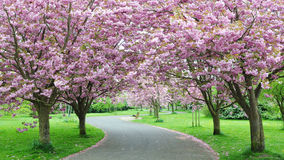 Cherry Blossom Path. Garden Path Arched by Cherry Trees in Blossom royalty free stock photos