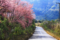 Cherry blossom path. With high mountain background Stock Photography