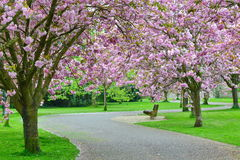 Cherry Blossom Path arkivfoton