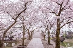 Cherry Blossom Path Stock Afbeelding