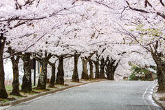 Cherry Blossom Path in beautiful Garden in spring (selected focu Royalty Free Stock Photo