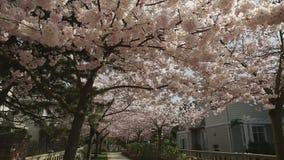 Cherry Blossom Path, camera move stock video