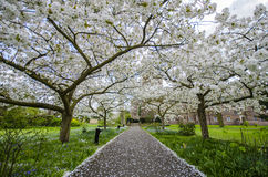 Cherry Blossom Path Stock Photos