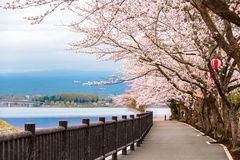 Cherry Blossom Path at Kawaguchiko Lake during Hanami festival Royalty Free Stock Photos