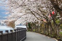 Cherry Blossom Path at Kawaguchiko Lake during Hanami festival. Japan Royalty Free Stock Photo