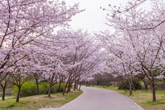 Cherry blossom path Stock Photo