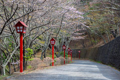 Cherry blossom path. A path under the cherry tree Stock Photography