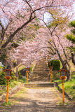 Cherry blossom path Royalty Free Stock Images