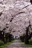 Cherry Blossom Path väg till och med en härlig trädgård Arkivfoto