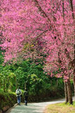 Cherry blossom pathway in a beautiful landscape garden Royalty Free Stock Photos