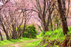 Cherry Blossom Pathway in Chiang Mai, Thailand Royalty Free Stock Photos