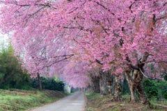 Cherry Blossom Pathway in ChiangMai, Tailandia Fotografia Stock Libera da Diritti