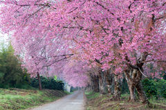 Cherry blossom pathway in ChiangMai, Thailand.  royalty free stock photography