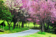 Cherry Blossom Pathway i ChiangMai Royaltyfria Foton