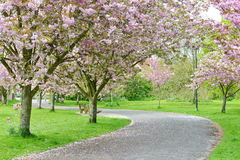 Cherry Blossom Pathway Stock Photos