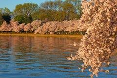 Cherry blossom peak around Tidal Basin in Washington DC, USA. Royalty Free Stock Photo