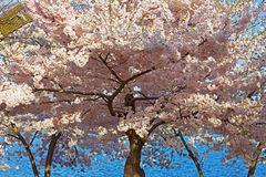 Cherry blossom peak in Washington DC, USA. Royalty Free Stock Images