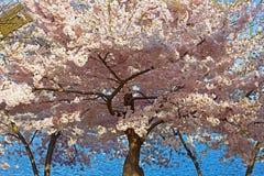 Cherry blossom peak in Washington DC, USA. Royalty Free Stock Images
