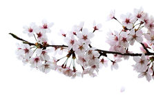Cherry blossom petal falling from branch Royalty Free Stock Images