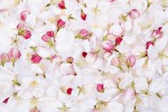 Cherry blossom petals backgrou Stock Image