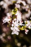 Cherry blossom. Petals blossomed. royalty free stock images
