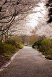 Cherry blossom petals fall on path Stock Photo
