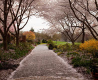 Cherry blossom petals fall on path Stock Photo