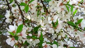 Cherry blossom and petals fall stock footage