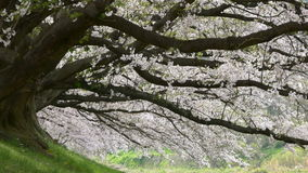 Cherry blossom petals falling down at Sewari river bank, Kyoto, Japan. (UHD stock video footage