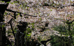 Cherry blossom with petals falling, Sakura season in Japan. Stock Photo