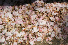 Cherry Blossom Petals in Grass Stock Image