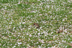 Cherry Blossom Petals in Grass Stock Images