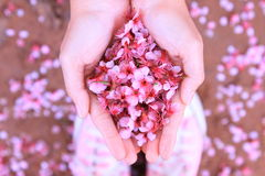 Cherry blossom petals on the ground Stock Images