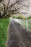Cherry blossom petals on the path. The path is covered with cherry blossom petals Stock Photos