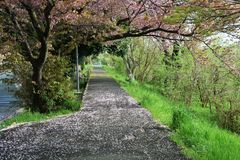 Cherry blossom petals on the path. The path is covered with cherry blossom petals Stock Image