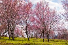 Cherry Blossom at Phu Lom Lo. Phu Hin Rong Kla National Park in Phitsanulok province of Thailand Stock Photos